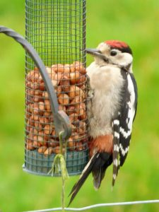 Greater Spotted Woodpecker at Gauber.